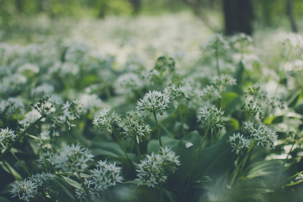Flowering Baers Garlic