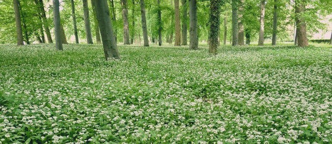 Wild garlic (Allium ursinum) in the forest