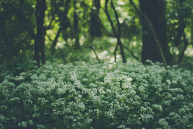 Flowering Wild Garlic
