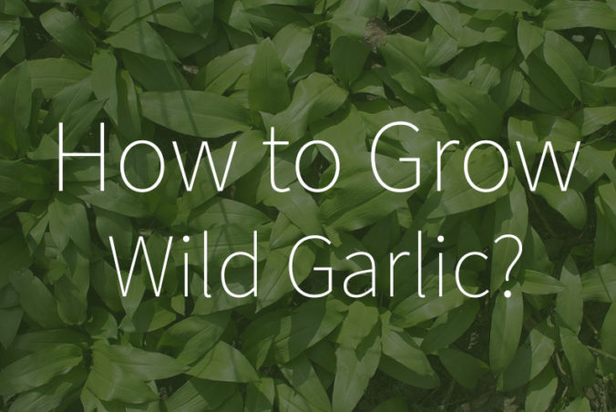 How to grow wild garlic from bulbs or seeds