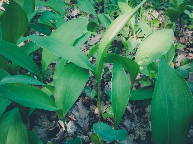 Lily of the valley and wild garlic