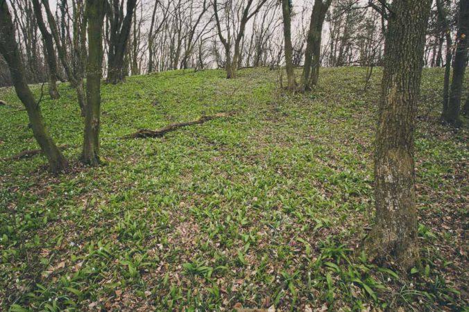 Wild garlic in forest