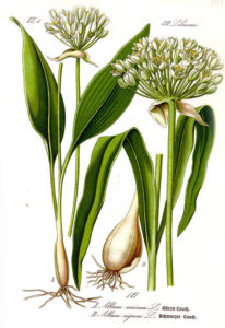 Wild garlic plant and bulb