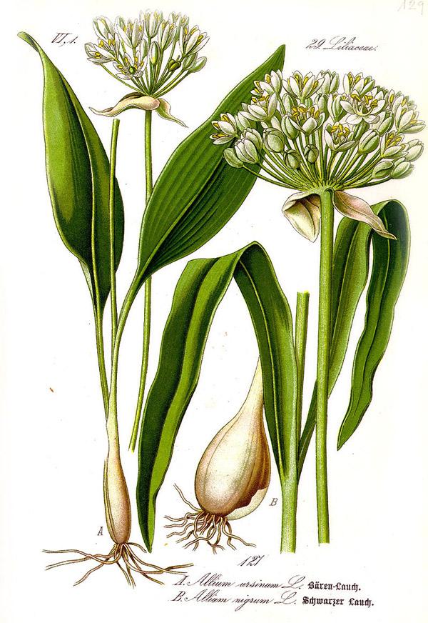 Wild garlic plant and bulb