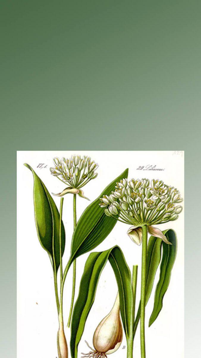 wild garlic story 1